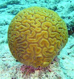 250px-Brain_coral